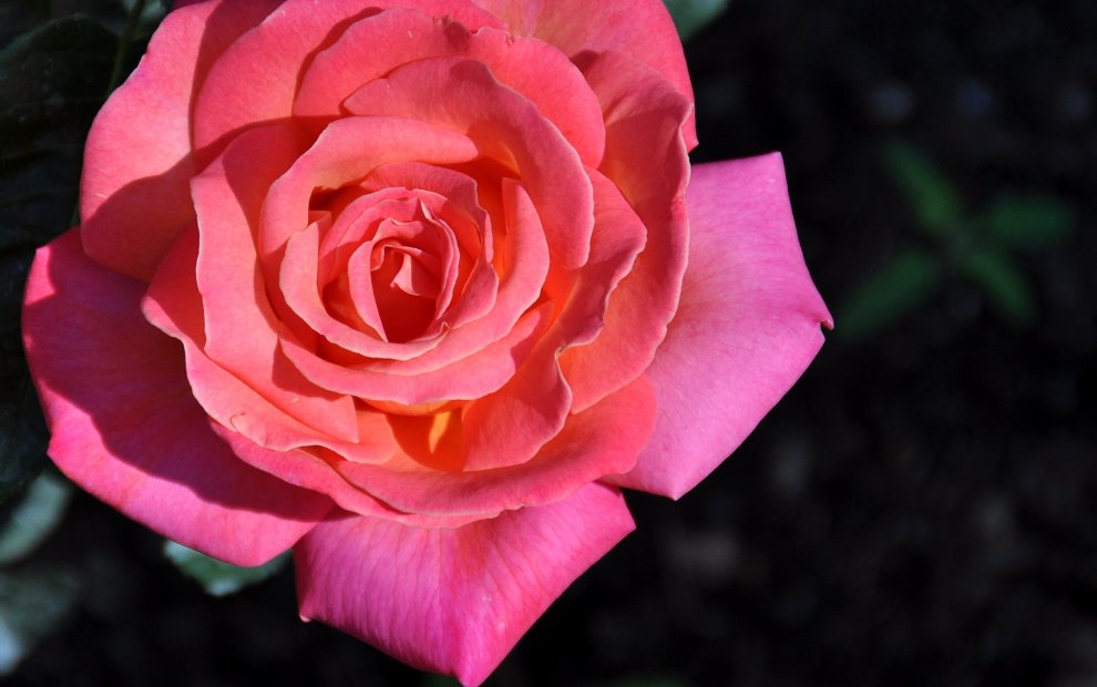 One of my Dad's roses at his home in Brookfield, WI. Taken on a visit on July 16th, 2009. DL
